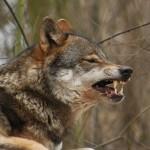 Vom Wolf zum Hund - Auswirkungen auf den Speiseplan